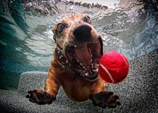 FOSTER-Dachshund underwater dogs seth casteel