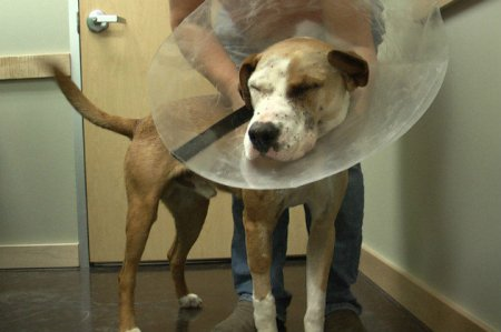 buck-eye-surgery the dog who wouldn't die