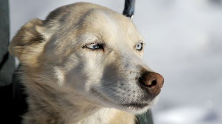 iditarod dog found 7 days after disappearing