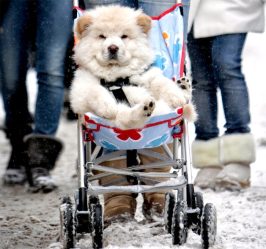 STROLLER-DOG