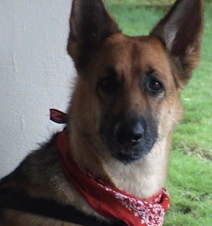 Female_german_shepherd-1